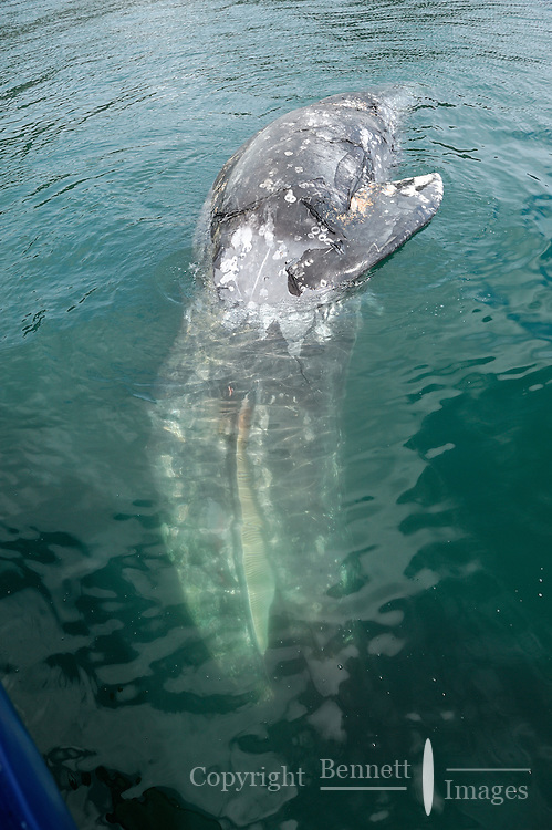 A dead gray whale (Eschrichtius robustus) floats south of Glacier Island in Prince William Sound, Southcentral Alaska on a spring day in early May.