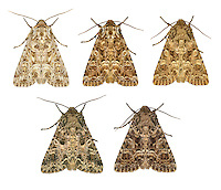 73.286 (2167)<br /> Tawny Shears - Hadena perplexa<br /> bottom right= pod lover