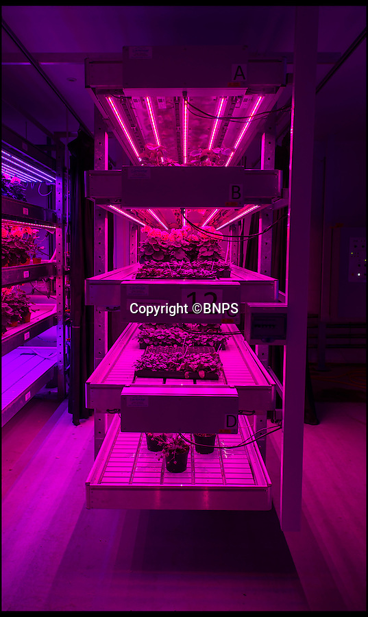 """BNPS.co.uk (01202 558833)<br /> Pic: PhilYeomans/BNPS<br /> <br /> Daylight saving...<br /> <br /> Colour cocktails can be bespoke to each plant.<br /> <br /> British boffins think the have cracked the problem of feeding the world with the cunning invention of sunlightless greenhouses that could even be set up in urban centres and utilise certain wavelengths of light to improve the growing speed, taste and even the shelf life of fruits and vegatables.<br /> <br /> They have discovered that plants dont require the rainbow of colours contained in ordinary daylight to grow, and have cracked the colour palette required to enhance the whole process of food production.<br /> <br /> Using tiny LED's they feed the plants with carefully calculated cocktails of red and blue that are all the herbs and vegatables actually need to grow. LED's also have the added advantage of giving off little heat enabling the plants to be stacked in racks for added production.<br /> <br /> Project leader Dr Martin McPherson said """"With this technology we can grow fruit and vegetables year round in a climate-controlled urban environment without the need for natural sunlight.<br /> <br /> """"There are a lot of empty warehouses sitting idle so why not use them for growing in?'"""