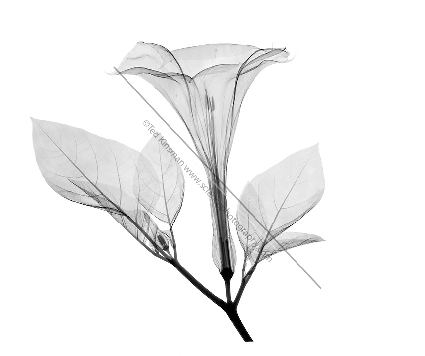 An X-ray of a Datura Flower( Datura stramonium ) in Flower showing trumpet shaped flower.  This plant also can be called Thorn Apple or Jimson weed.