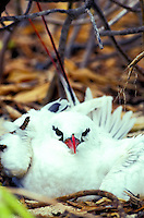 The Red-Tailed Tropic bird or (phaethon rubracauda rothschild) found on the Kure Atoll