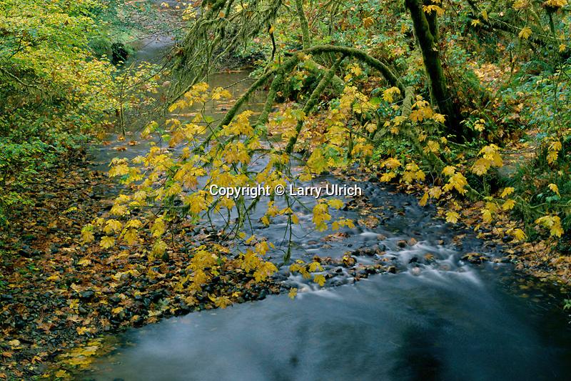 Big leaf maples alongPrairie Creek<br /> Prairie Creek Trail<br /> Prairie Creek Redwoods State Park<br /> Humboldt County,  California
