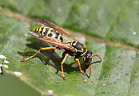 European Paper Wasp; Polistes dominula; exotic species; PA, Philadelphia, Schuylkill Center for Environmental Education; milkweed; Asclepias; syriaca;
