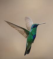 Sparkling Violetear: Colibri coruscans; in flight; Ecuador, Prov. Pichincha, Antisana area