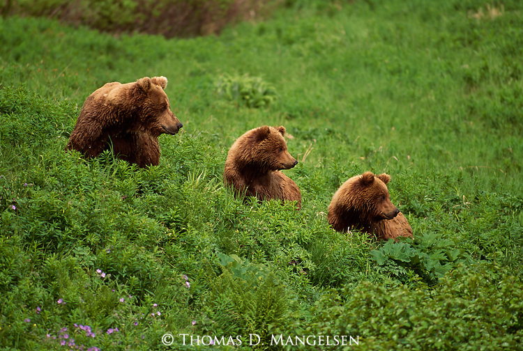 Three grizzly bear cubs in a line on a hillside at the McNeil Sanctuary in Alaska.