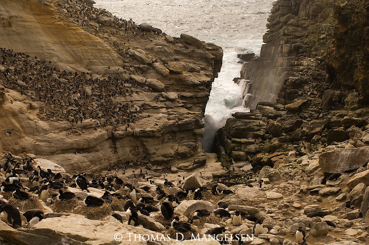 A rockhopper penguin colony on West Point Island in t he Falkland Islands.
