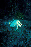 """A """"ghost"""" fishing net blankets an entire reef . The net still catches and kills animals, like this sea turtle, long after it is discarded, Baja California, Mexico"""