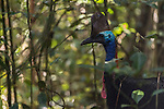 The Southern Cassowary in the forest. The Southern Cassowary, also known as the Double-wattled Cassowary (family Casuariidae), is native to the tropical forests of New Guinea, nearby islands and north eastern Australia. The name cassowary comes from the Malay name kesuari. The cassowary is the largest avian frugivore in the world. Cassowaries are striking in appearance, with a tall brown casque (helmet) on top of their head, a vibrant blue and purple neck, red wattles and glossy black plumage. The purpose of the casque is unknown and hypotheses include that it indicates dominance, protects the bird&rsquo;s head when running through the forests, or aids cassowaries in hearing the low vibrating sounds made by other cassowaries. They possess small vestigial &lsquo;wings&rsquo; with 5-6 bare quills and a long claw at the tip of the wing.<br /> Southern cassowaries can grow to a height of 2 metres, with males weighing up to 55kg and females up to 76kg. Each leg has three claws, with the medial claw reaching up to 120mm in length! Cassowary chicks differ in appearance, with a striped brown and cream pattern. After 3-6 months, the stripes fade to the brown sub-adult plumage.  This is retained until 12-18 months of age after which the bird begins to take on adult characteristics. Maturity is reached at 3.5 years of age for females and 2.5 years for males.