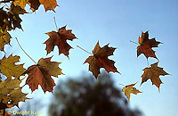 AU20-001b  Falling maple leaves, autumn - Acer spp.
