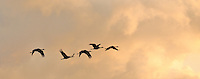 A group of sandhill cranes flies over Creamer's Field in Fairbanks, Alaska on a late summer evening.