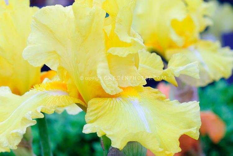 Iris Goodnight Moon, lemon yellow bearded iris in spring flower