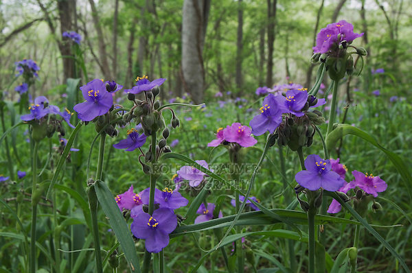 Prairie Spiderwort, Tradescantia occidentalis, blooming on forest floor, Palmetto State Park, Gonzales County, Texas, USA, March 2007