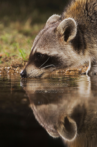 Northern Raccoon, Procyon lotor, adult at night drinking, Uvalde County, Hill Country, Texas, USA, April 2006