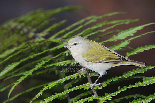 Tennessee Warbler, Vermivora peregrina, adult perched on fern, Central Valley, Costa Rica, Central America, December 2006