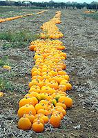 Pumkins lying ready for Halloween in a field at Evesham, Worcester.