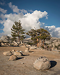 Sierra Juniper, glacial erratic boulders, Olmsted Point, Yosemite-Tioga Pass Highway