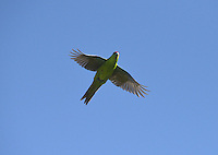 Red-crowned Parakeet - Cyanoramphus novaezelaniae