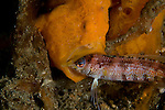 Painted Frogfish, Antennarius picta, eating a sandperch, Parapercis sp., Lembeh Strait, Bitung, Manado, North Sulawesi, Indonesia, Pacific Ocean