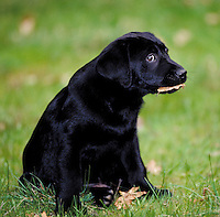 Black labrador retriever puppy with leaf in mouth