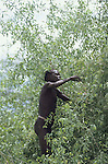 A Turkana woman collecting berries from at a tree near to her village.The Turkana are predominantly nomadic herders  who suppliment their  diet  with berries.