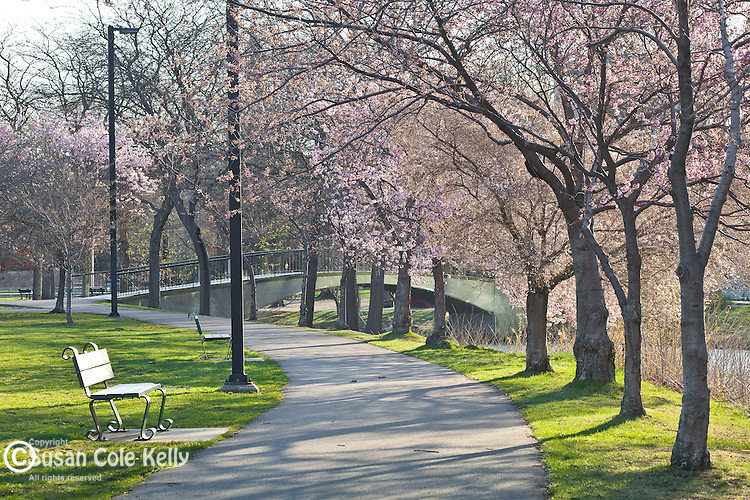 Japanese Flowering Cherry Trees on the Charles River Esplanade, Boston, MA, USA