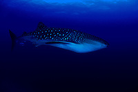 For all their size (the worlds largest fish) a whale shark, Rhiniodon typus, has relatively tiny eyes (the little black dots a the front end).  Hawaii.