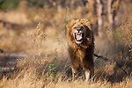 Botswana, Okavango Delta, Moremi; male lion showing flemen behaviour