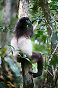 Adult male Milne-Edward's Sifaka (Propithecus edwardsi) resting in the canopy. Mid-altitude montane rainforest, Ranomafana National Park, south east Madagascar.