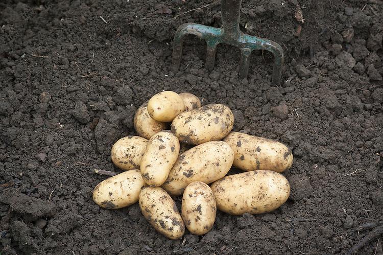 Potato 'Charlotte', mid July.