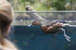 Foto: VidiPhoto<br /> <br /> ARNHEM &ndash; Niet de unieke natuur of de zeldzame zeekoeien, maar een eenvoudige doch pronkzuchtige rosse fluiteend is de publiekslieveling in de overdekte mangrove van Burgers&rsquo; Zoo in Arnhem. Zodra zich voldoende kijkers voor de enorme glaswand van het megabassin hebben verzameld, komt Donald aanvliegen en begint opvallend en parmantig voor de b&uuml;hne heen en weer te zwemmen. Daarna volgt een uitgebreide poetsbeurt van het verenkleed. Zodra het heerschap voldoende heeft genoten van alle aandacht, gaat hij aan de slag met een minder prettige hobby, het aantasten van het veld met kweek-zeegras. Tot verdriet van de parkleiding is de fluiteend dol op deze jonge aanplant. De Arnhemse mangrove is een van de weinig plekken ter wereld waar overdekt zeegras wordt gekweekt. Omdat Burgers&rsquo; Zoo het ecosysteem echter niet wil aantasten en de natuur zijn gang laat gaan, krijgt het dier geen beperkingen opgelegd.