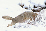 Coyote Pouncing on Vole, Winter Hunt, Obsidian Cliffs, Yellowstone National Park, Wyoming
