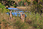 White-tailed fawns in October