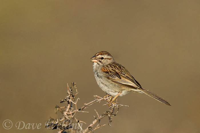 578920009 a wild rufous-winged sparrow aimophila carpalis  perches on a mesquite bush in montosa canyon near green valley arizona united states