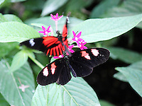 Stock photo: Two postman butterflies one defocused fluttering trying to pollinate on tiny pink flowers in the callaway gardens, Georgia, USA.