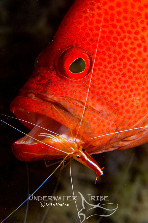 Tomato Grouper, Cephalopholis sonnerati, being cleaned by Humpback Cleaner Shrimp, Lysmata amboinensis, , Yap, Federated States of Micronesia, Pacific Ocean