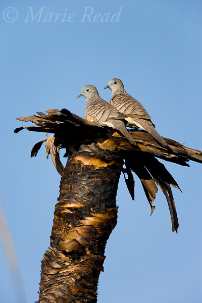 Peaceful Dove (Geopelia placida), pair at nest site on top of a burned palm stump, Mamukala Wetlands, Kakadu National Park, Northern Territory, Australia