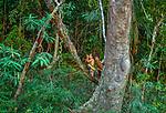 Penan tribesman hunting with a blowgun, Sarawak, Borneo, Malaysia