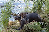 The River Otters (Lutra canadensis) at play on the shore of Trout Lake in Yellowstone. The pups are in constant motion until they fall asleep in their den. Mom is pretty tolerant, but, as for all moms, enough can be enough!