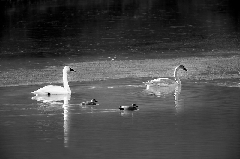 Adult and juvenile Trumpeter Swans (Cygnus buccinator) and ducks. Owhyee River. Oregon