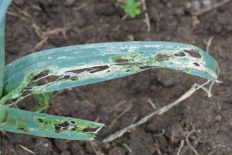 Leek damage caused by slugs, snails or leek moth, early August.