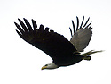 American Bald Eagle bird flying with wings outstretched. Stock photography by Olympic Photo Group