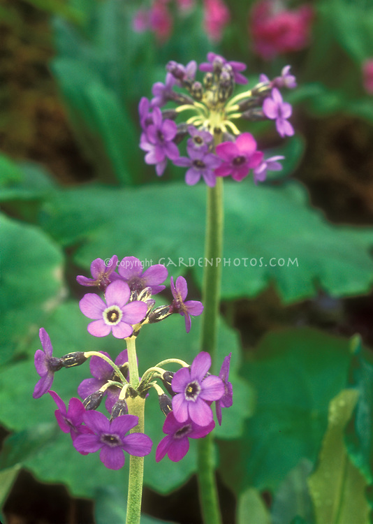 Primula chionantha Chinese primrose in flower in spring