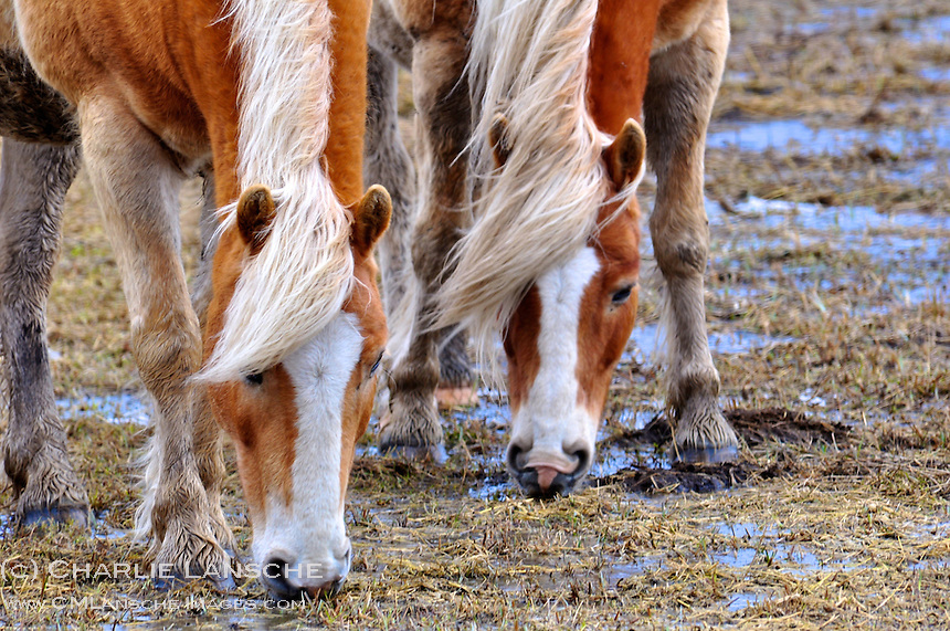 A pair of quarter horses drink water from flooded pasture on a windy spring morning.