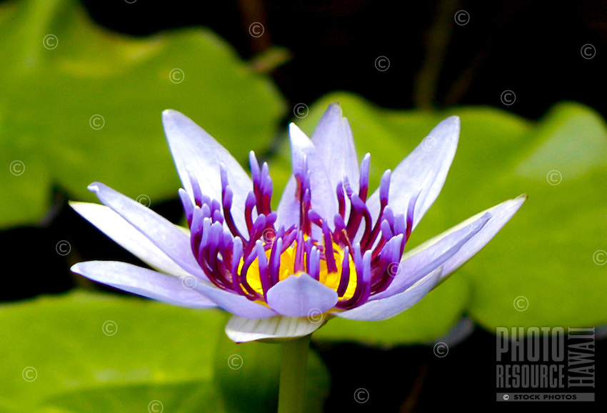 A close-up of a beautiful lavender and yellow water lily lit up by the summer sun in a lily pond on the island of Hawai'i.