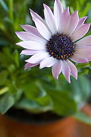 African Daisy flowerhead with unsharp leaves and pot