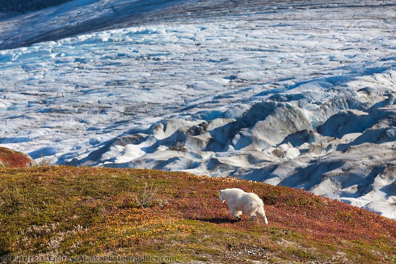 Mountain goat, Exit glacier, Kenai Fjords National Park, Kenai mountains, Kenai Peninsula, southcentral, Alaska.