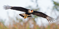 The Northern crested caracara (commonly known as the Crested caracara) is often see scavenging fields, beaches and roadsides in Costa Rica.