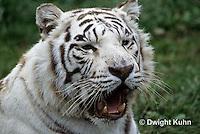 MA40-007z  Bengal Tiger - white phase - Panthera tigris