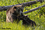 Grizzly bear sow nursing young cubs. Yellowstone National Park, Wyoming.