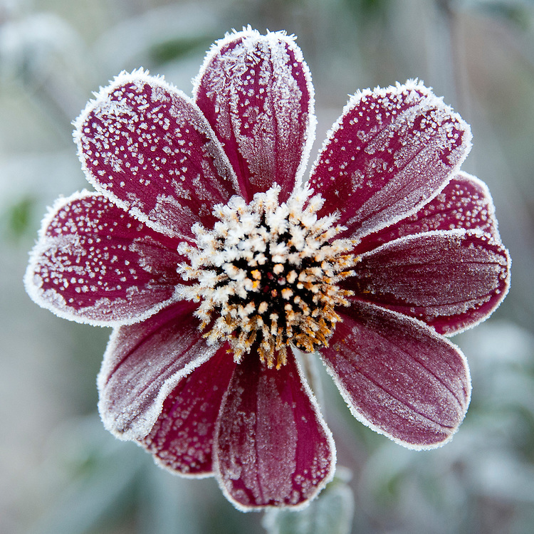 Dahlia 'Bishop of Auckland' early in the morning after an overnight frost, late October.